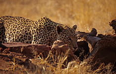 Safari en los Parques Nacionales, dunas de Sossusvlei en libertad